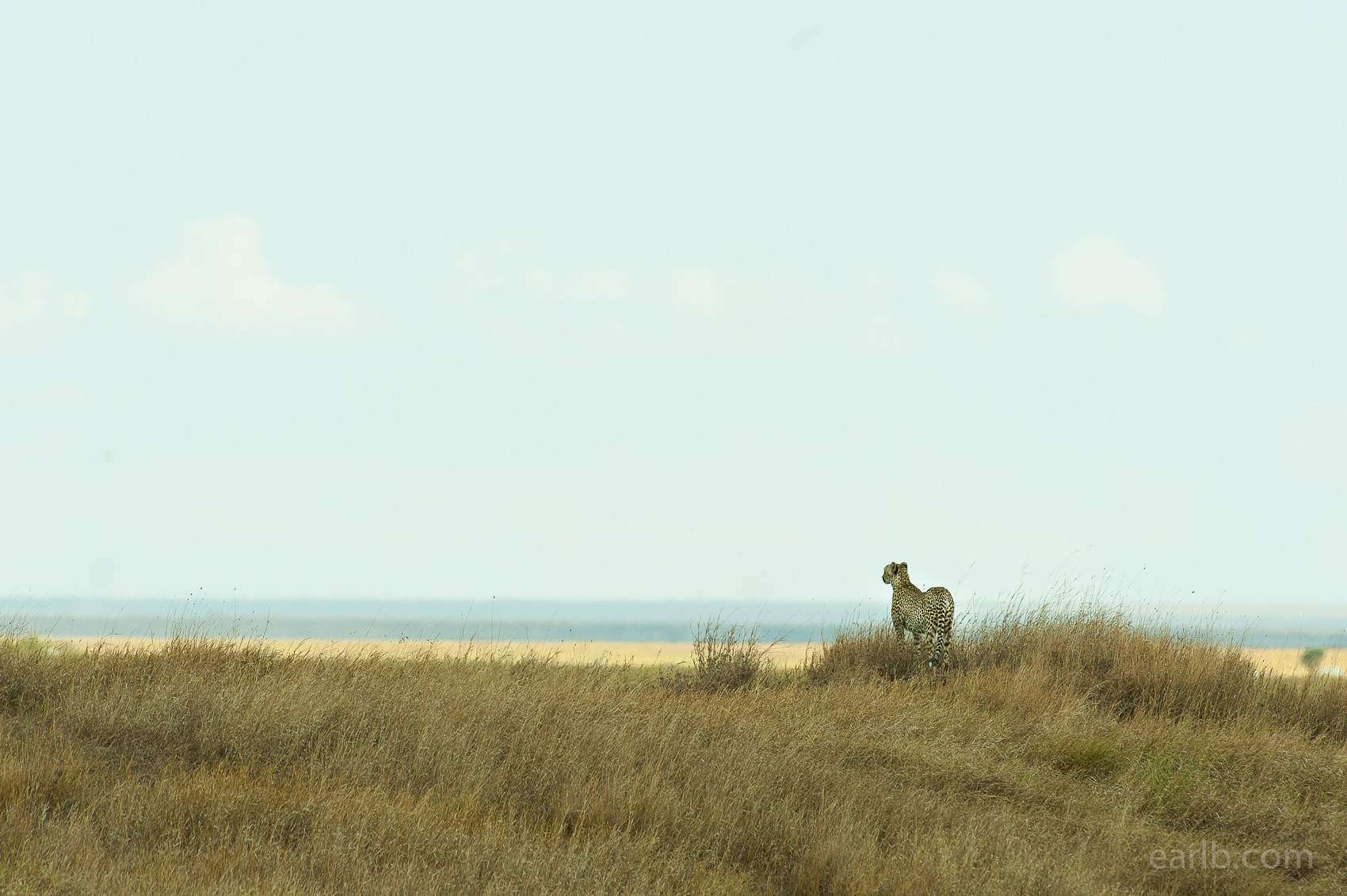 2014-05-Serengeti-Cheetah.jpg