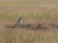 2014-05-Serengeti-Cheetah-3.jpg