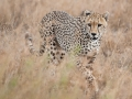2014-05-Serengeti-Cheetah-4.jpg